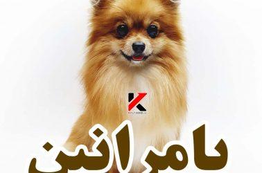 سگ پامرانین روباهی قهوه ای رنگ
